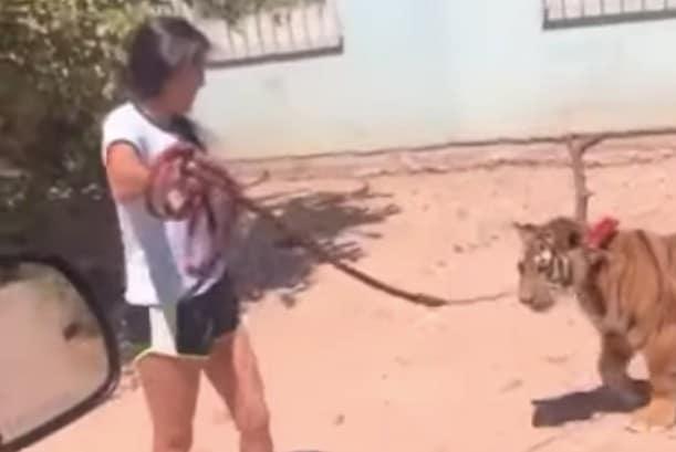 Con correa, niña pasea a un tigre en calles de Guasave, Sinaloa (+video) - 24 Horas Puebla